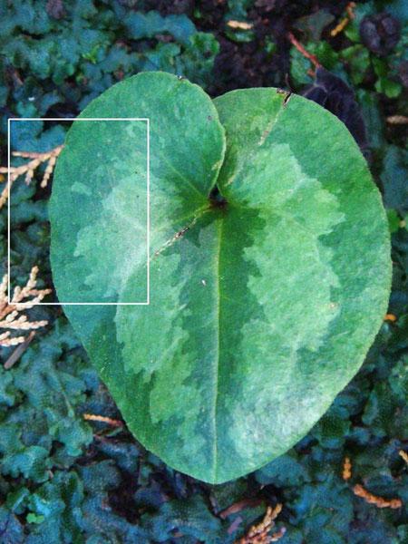 カギガタアオイの葉の表面