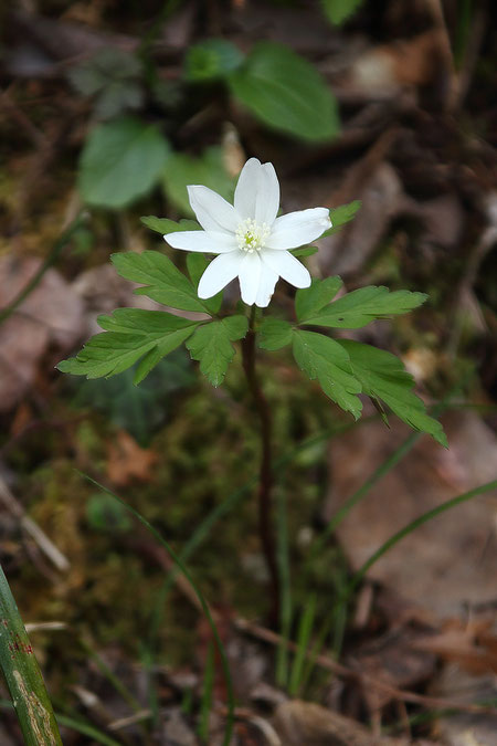 キクザキイチゲ (菊咲一華) キンポウゲ科 イチリンソウ属 葉が切れ込む