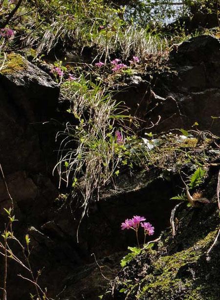 こちらは手が届かない岩壁。上の方にもイワザクラが咲いています。