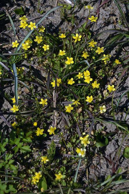 ヒキノカサ (蛙の傘) キンポウゲ科 キンポウゲ属  絶滅危惧Ⅱ類の植物