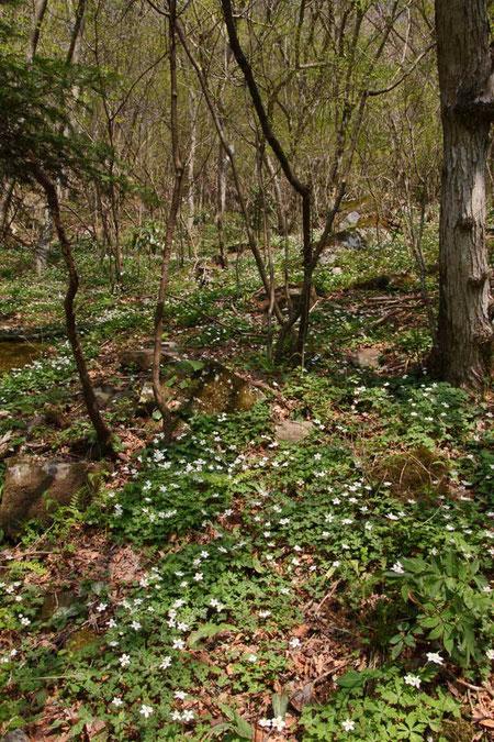 #3 ニリンソウが落葉樹が葉を展開する前の明るい林内に広がる(#2と同所)