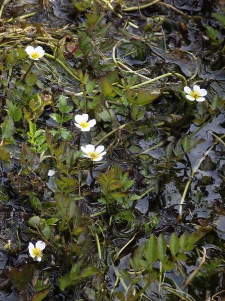 バイカモ (梅花藻) キンポウゲ科