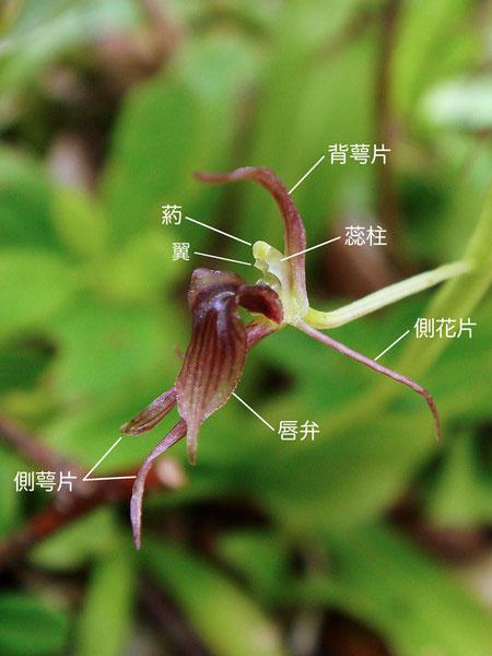 ジガバチソウの花の構造