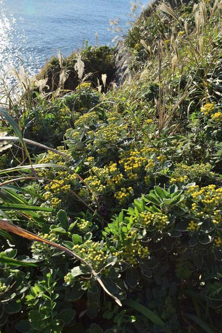 イソギクは千葉県〜静岡県・伊豆諸島の海岸に自生します
