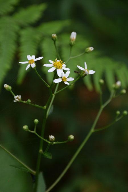 シラヤマギク (白山菊) キク科 シオン属  舌状花は5〜10個程度