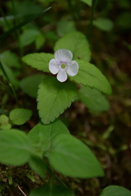 花色の白さ、葉の鋸歯の低さ、茎の毛の開出毛からヤマクワガタとしました