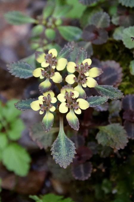 ヨゴレネコノメの薄い黄色い部分は、苞葉です