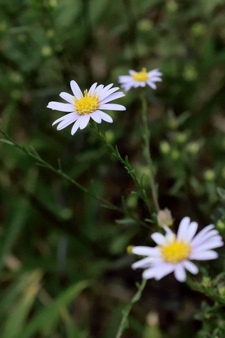 ヤナギノギク 茎上部の葉はとても小さく細い