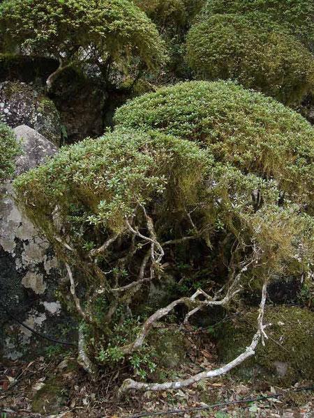 キヨスミイトゴケ サツキの葉にぶら下がるようについているのですが...