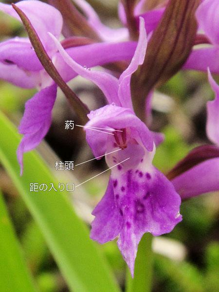 ハクサンチドリの花の構造-2(葯、柱頭、距の入口)