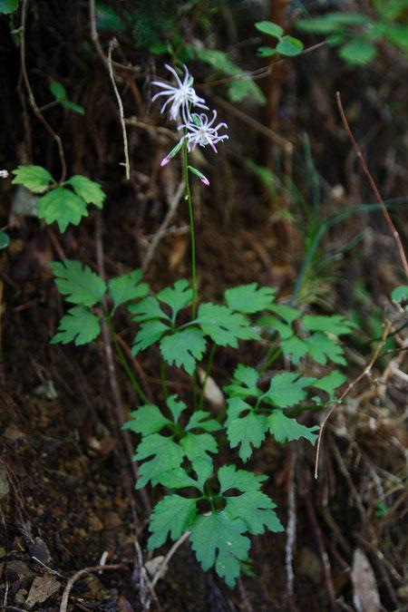 エンシュウハグマの葉はとても個性的