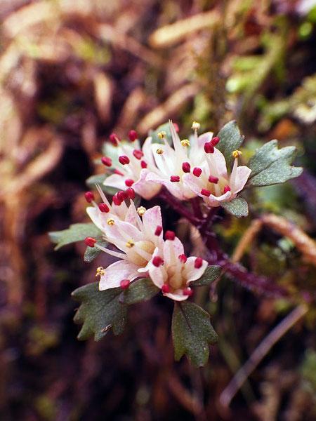 ハナネコノメ  純白の萼片も素晴らしいけど、赤味を帯びた萼片もまた美しい
