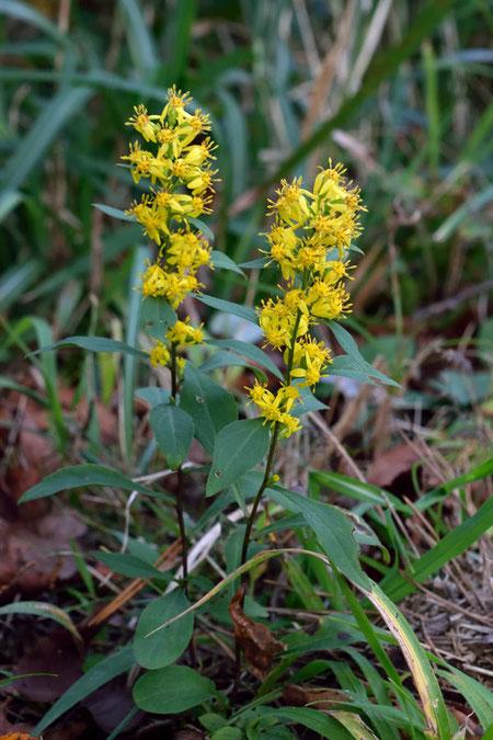 ハマアキノキリンソウ 鮮やかな黄色。高さは15cmほどしかありません。