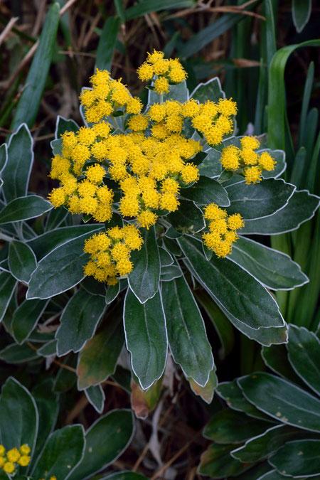 イソギク (磯菊) キク科 キク属  筒状花のみで、舌状花はありません