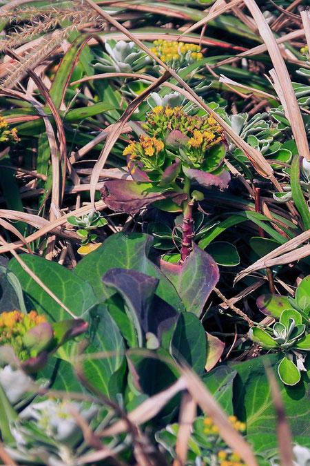 ワダン キク科 アゼトウナ属  キャベツを連想させるような大きな葉