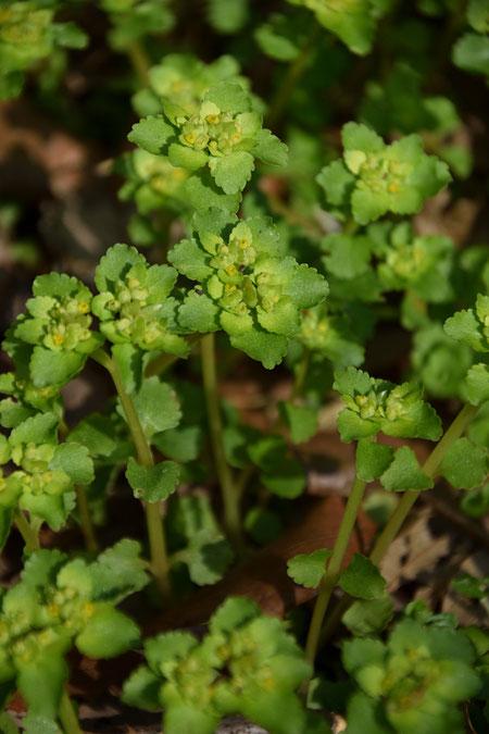 ネコノメソウ (猫の目草) ユキノシタ科 ネコノメソウ属  葉は対生