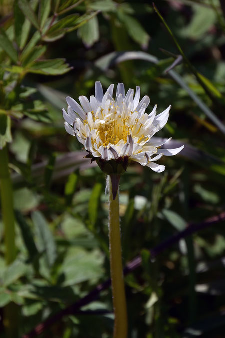 シロバナタンポポの頭花は他のタンポポより小さく、舌状花の数も少ない