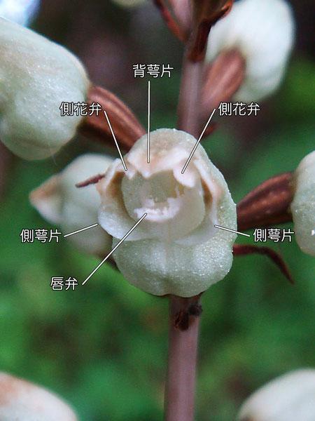 シロテンマの花の構造(背萼片、側花弁、側萼片、唇弁)