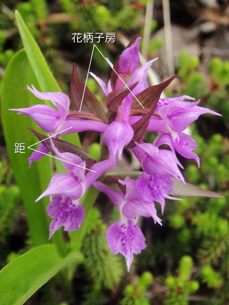 ハクサンチドリは花柄子房が180度ねじれて唇弁を下側につける標準タイプ
