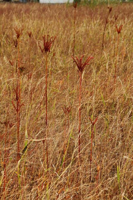 意外な場所にいたタコノアシ 準絶滅危惧に指定されています
