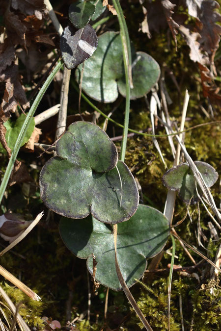 スハマソウの根生葉  ミスミソウに似ますが、裂片の先端が丸みを帯びます