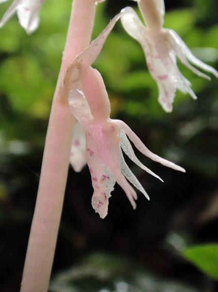 タシロラン  淡いピンク色の個体  2010.06.26 神奈川県