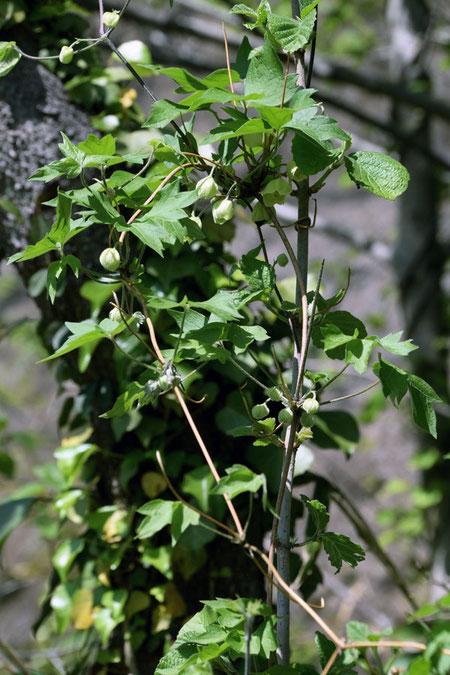 シロバナハンショウヅルは、いろいろな植物に絡みついていた
