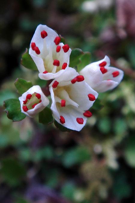 ハナネコノメ  咲き始めの初々しい花も美しい