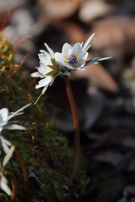 こちらもセツブンソウの2輪咲き。 通常の花よりやや花茎が太い気がする