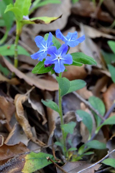 ホタルカズラ 薄暗がりでほんのり輝くような花色がいい