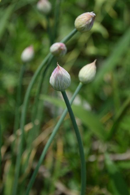 アサツキの「ネギ坊主」(つぼみ) これから咲く花も多かった