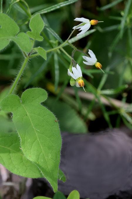 ヒヨドリジョウゴ (鵯上戸) ナス科 ナス属  花冠が強く反り返る