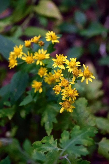 アワコガネギク (泡黄金菊) キク科 キク属