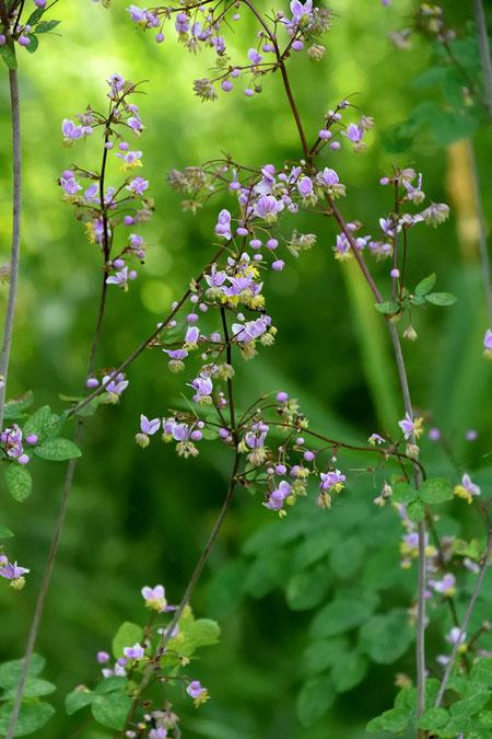 シキンカラマツは、日本に咲くカラマツソウ属の中で、最も色彩豊かな花を咲かせる