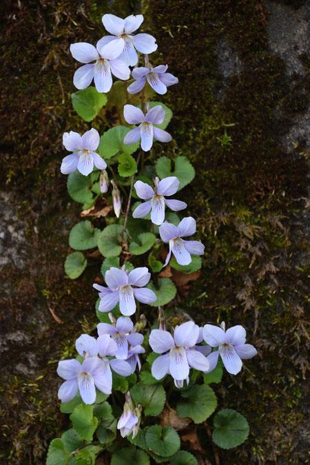 タチツボスミレ  石垣の隙間にもたくましく咲いていた