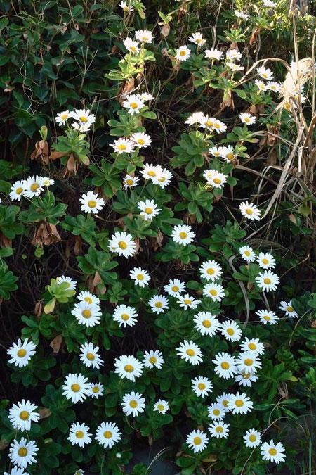学名は Nipponanthemum nipponicum 。 これぞ「ニッポンの花」!
