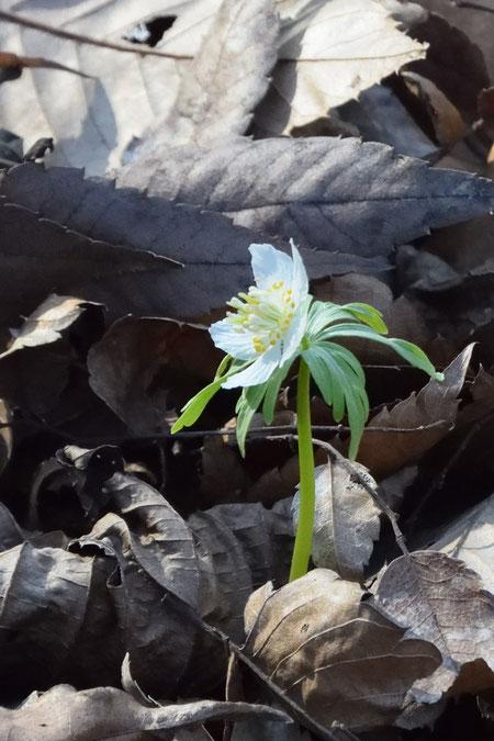 シロバナセツブンソウ 雄しべ・雌しべまで白く、花茎も明るい緑色