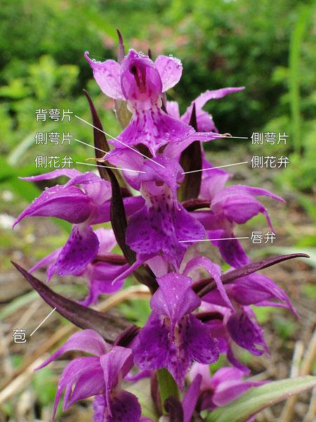 ハクサンチドリの花の構造-1(背萼片、側花弁、側萼片、唇弁)