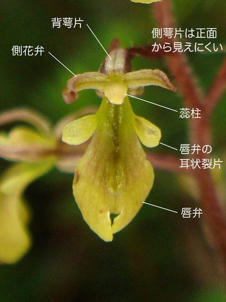 ミヤマフタバランの花の構造(背萼片、側花弁、唇弁、蕊柱)