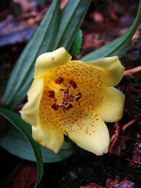スルガジョウロウホトトギスの花