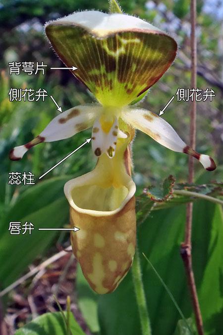 #4 キバナノアツモリソウの花の構造−花の正面