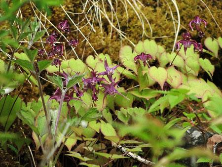 イカリソウ (錨草) メギ科 濃い紅紫色