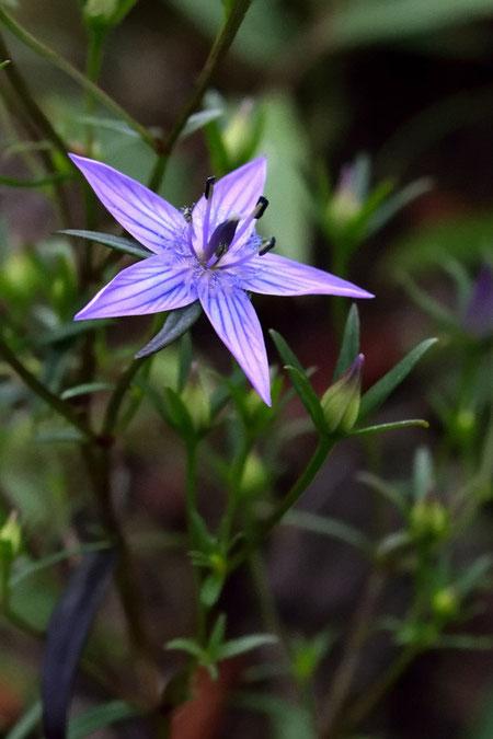 ムラサキセンブリ (紫千振) リンドウ科 センブリ属  愛知県 咲き始め