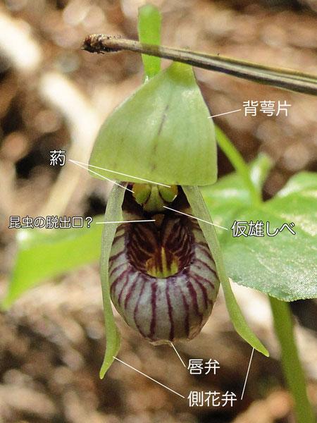 コアツモリソウの花の構造(背萼片、側花弁、唇弁、仮雄しべ、葯)