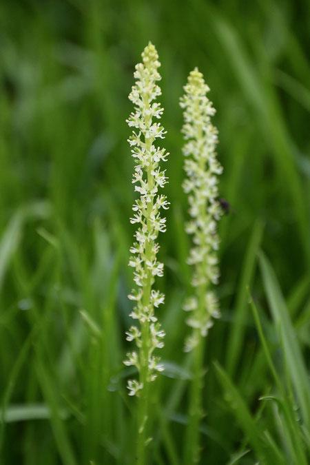 オゼソウの花序は長さ3〜8cm。 小さな花が20〜40個つきます