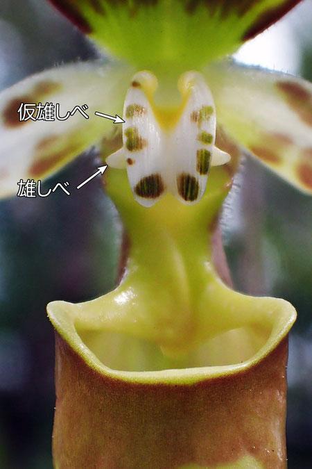 #9 キバナノアツモリソウの蕊柱−正面から(仮雄しべ、雄しべ)
