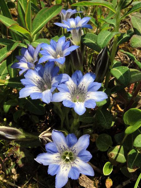 ハルリンドウ (春竜胆) リンドウ科 リンドウ属  2010.05.05 千葉県