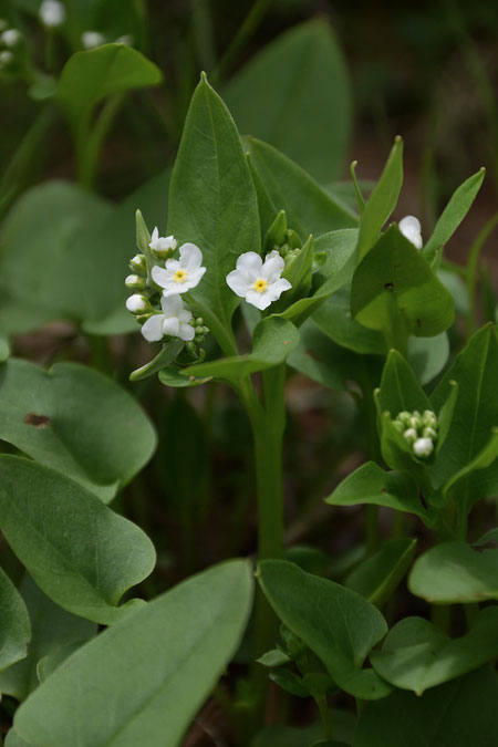 タチカメバソウ  ふつう花序は2つ。よく似たツルカメバソウはひとつ