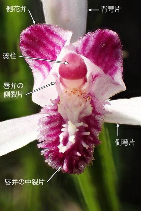 トキソウの花の構造(背萼片、側花弁、側萼片、唇弁、蕊柱)