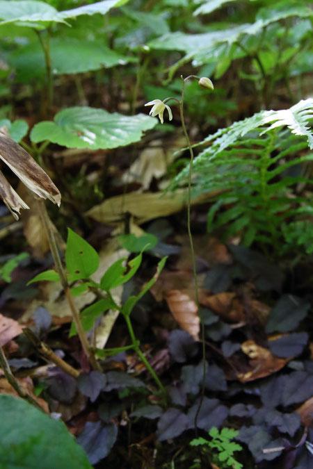 コイチヨウラン (小一葉蘭) ラン科 コイチヨウラン属  咲き始め